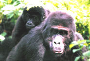 gorilles.jpg